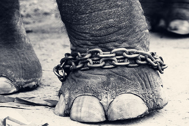 Leg_of_a_chained_elephant