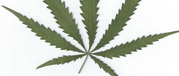631px-Cannabis_sativa_leaf-e1422568320905