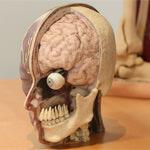 anatomage-3d-print