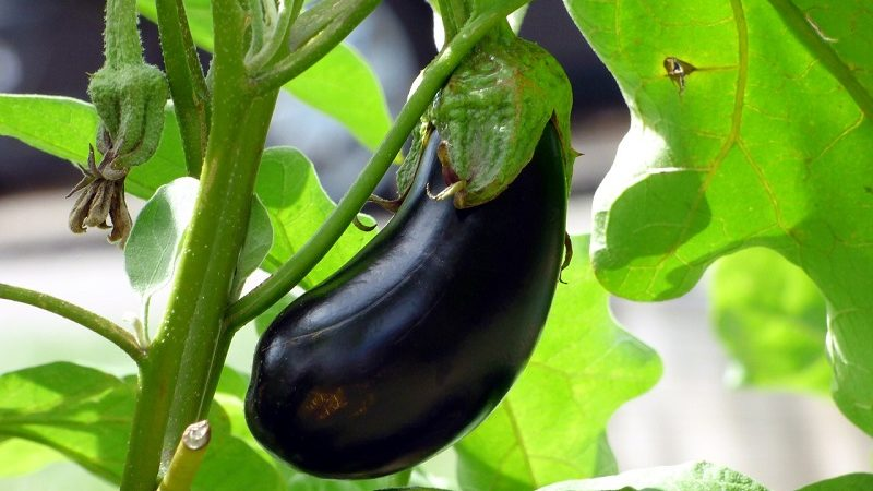 Aubergine Gemüse Pflanze