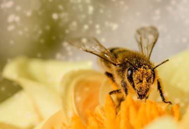Biene, Bienen, Pollen, Blume, Staub, Blüte, Apic.ai