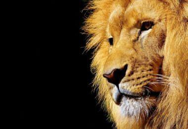 Löwe, Raubkatze, Mähne, Die Löwen-Liga, Die Löwen-Liga – Der Weg in die Selbständigkeit