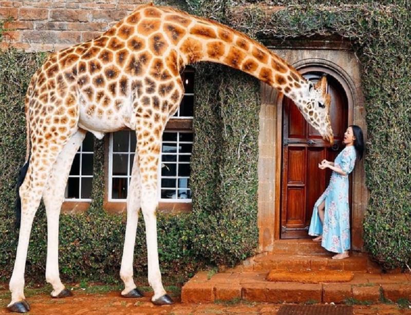 Giraffe Manor Hotel Nairobi Gast mit Giraffe