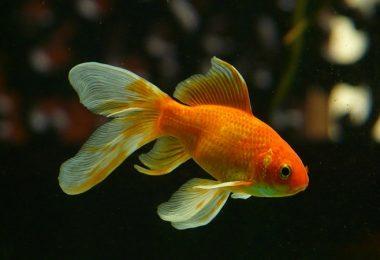 Goldfisch, Aquarium, Aufmerksamkeit, Aufmerksamkeitsspanne, Micro-Storytelling, Micro Storytelling