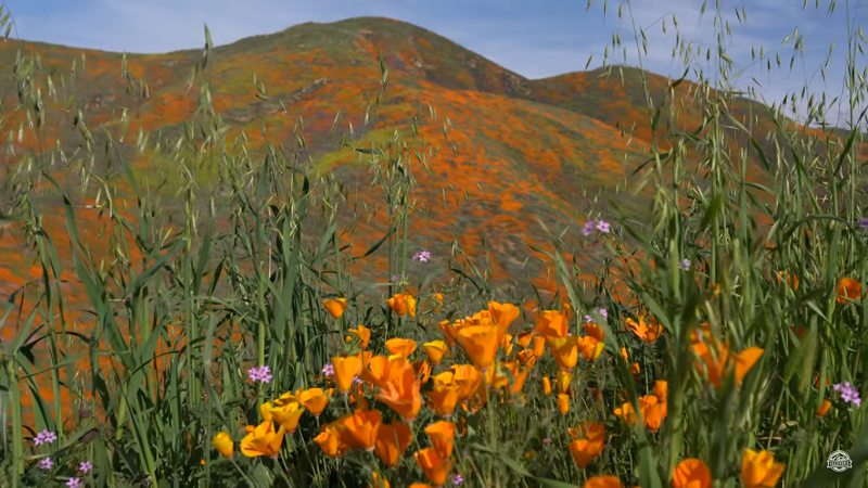 Superbloom Goldmohn Walker Canyon