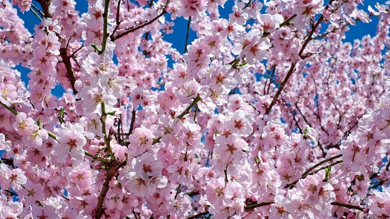 Japanische Kirschblüte, Japan