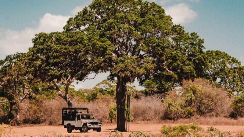 Eine indische Savanne, wo mehrere Bäume stehen.