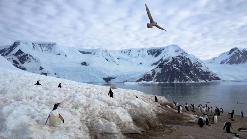 Pinguzin, Arktis, Eis