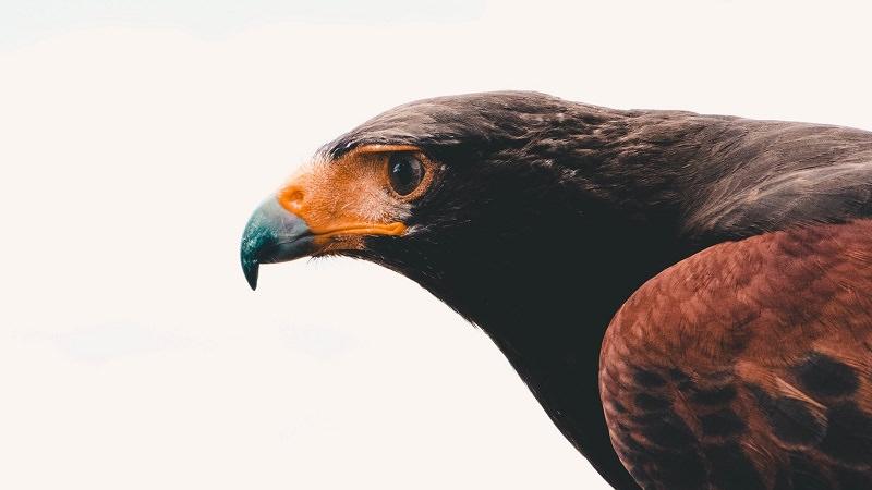 Adler, Falke, Fokus, Konzentration, Zukunft, Coronavirus