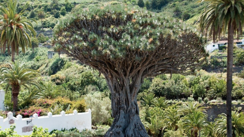 Drachenbaum, Baum