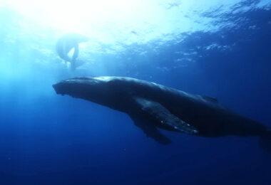 Walfang, Island, Wal, Blauwal, Meer, Buckelwal