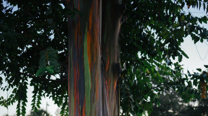 Regenbogen Eukalyptus, Baum