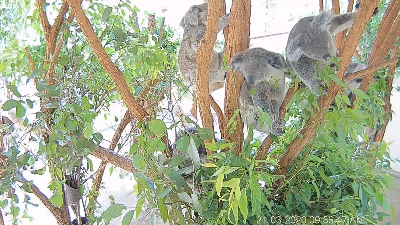 Lone Pine Koala Sanctuary Webcam, Koalabären, Australien, Queensland