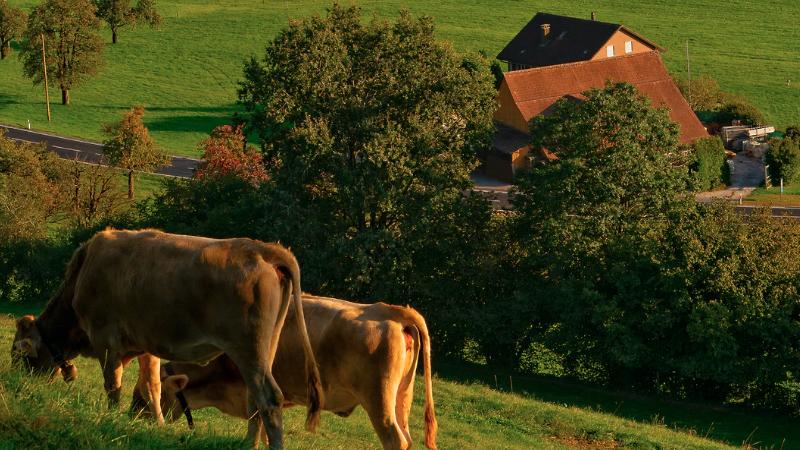 Kühe, Wiese, Natur, Bauernhof