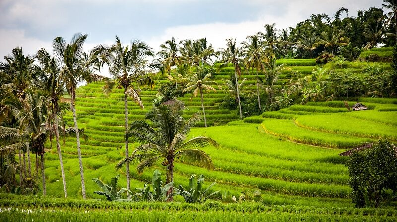Reisterrasse, Reis, Indonesien, Asien, Reisanbau