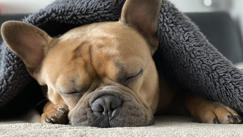 Französische Bulldogge, Schlaf, schlafen, Pause, Hund, Arbeitspause, Arbeitspausen