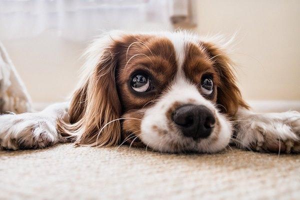 Hund, Langohrhund