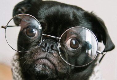 Hund, Brille, Intelligenz, intelligent, schlau, intelligent wirken