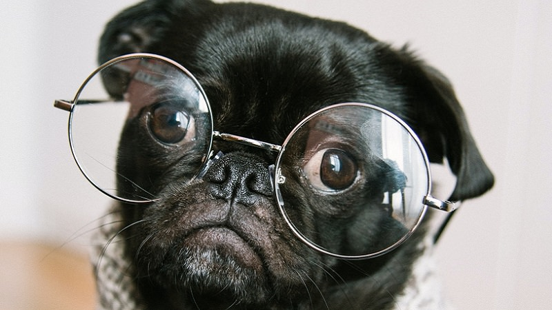 Hund, Brille, Intelligenz, intelligent, schlau, intelligent wirken