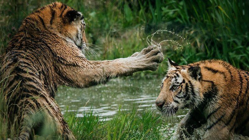 Tiger, Kampf, Zoo, Big Tech