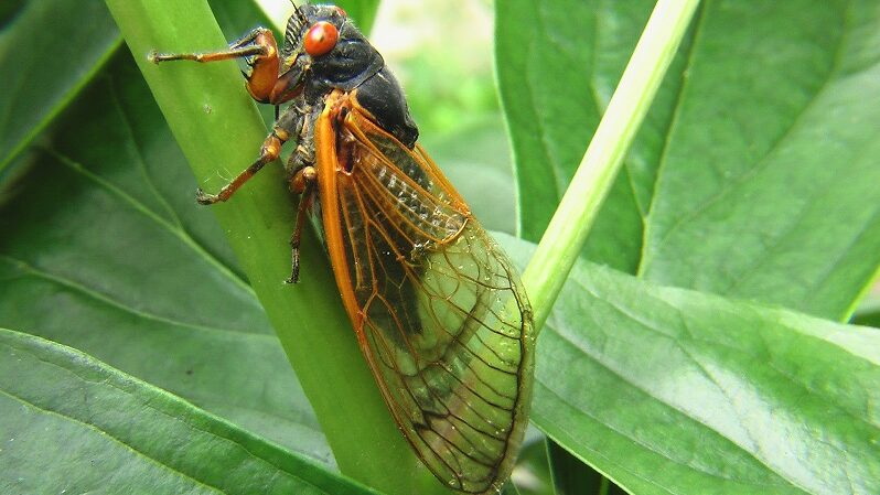 Zikade, Insekt